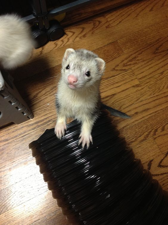 Ferrets, Close up and Babies on Pinterest
