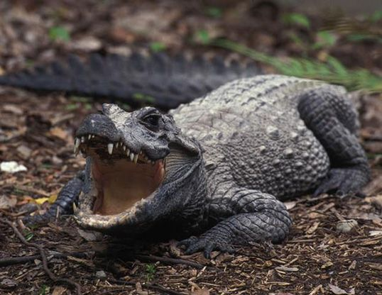 African Dwarf Crocodile (Osteolaemus tetraspis) range across  tropicallowland regions of sub-Saharan West Africaand West Central Africa.  Such a distribution as f…