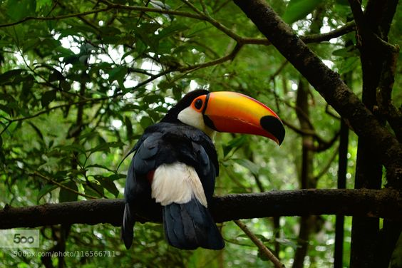 Tucán - Pinned by Mak Khalaf Parque de las Aves Foz de Iguazú Brasil. Animals BrasilIguazuanimalesavebirdbraziljunglanaturalezapajaroselvatucan by Marina-Corton
