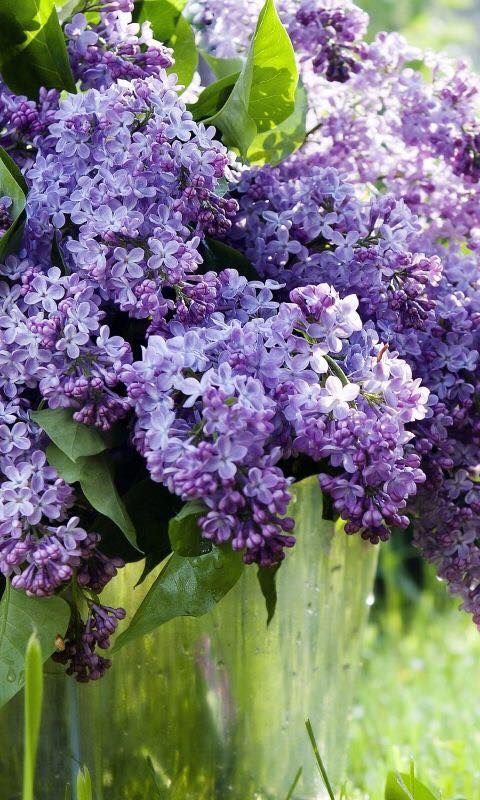 Love The Smell Of Lialac Lilac Flowers Lilac Gardening Pretty Flowers