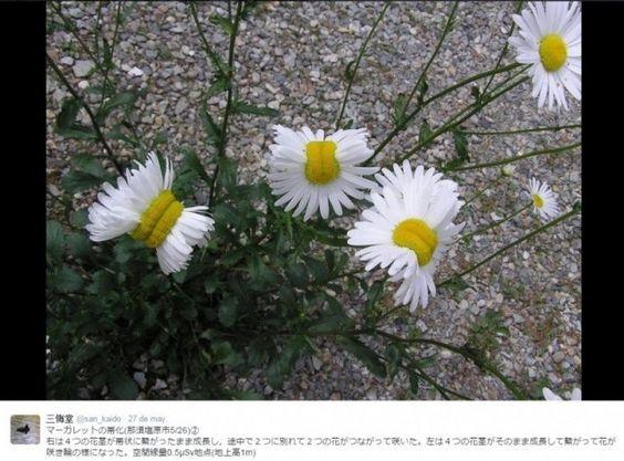 """""""Margaritas mutantes en Fukushima"""". #Ciencia: El último fenómeno viral relacionado con el accidente de #Fukushima es poco probable que esté relacionado con la radiación. http://irispress.es/mqciencia/2015/08/05/margaritas-mutantes-en-fukushima/"""