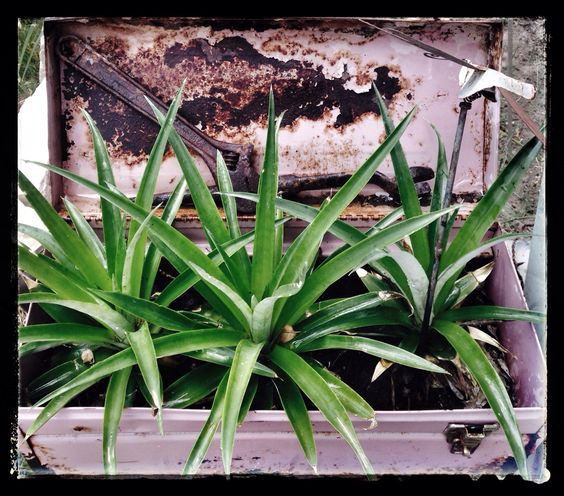Three pineapple plants in old rusted toolbox.. I named them Manny ,Moe and Jack