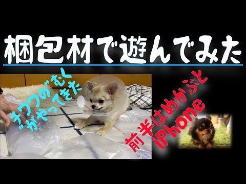 チワワ Youtube チワワ アジソン病 ペット