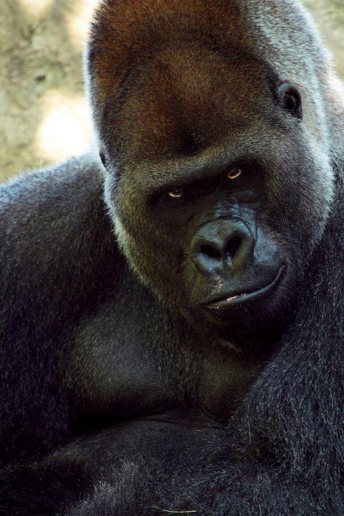 Gorilla's Smile by Erin Gardner