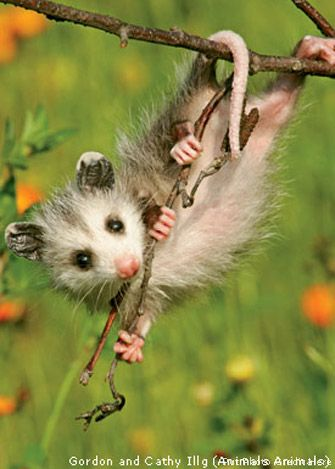 An opossum hangs by its tail from a tree