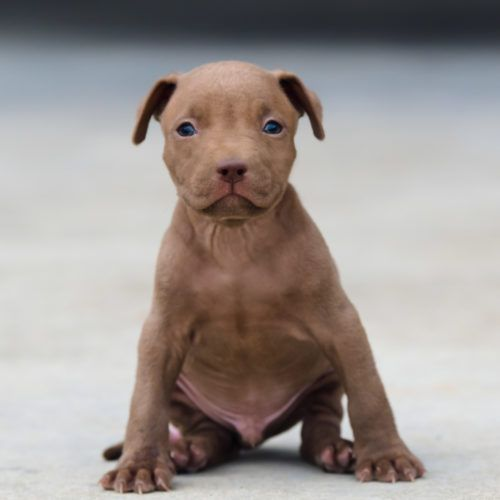Red Nose Pitbull Puppies For Sale Pitbull Puppies For Sale Pitbull Puppies Red Nose Pitbull Puppies