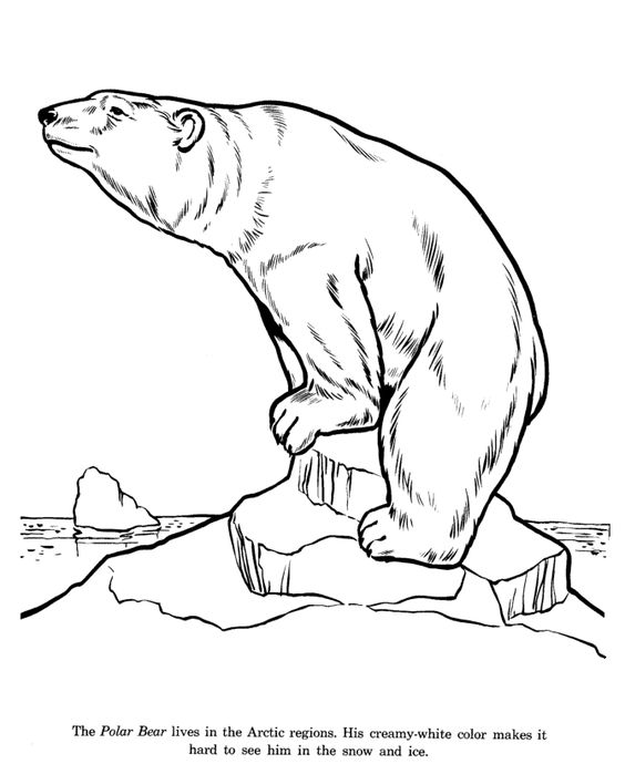 google polar bear coloring pages - photo#21