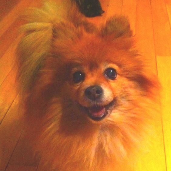 Pomeranian :-)