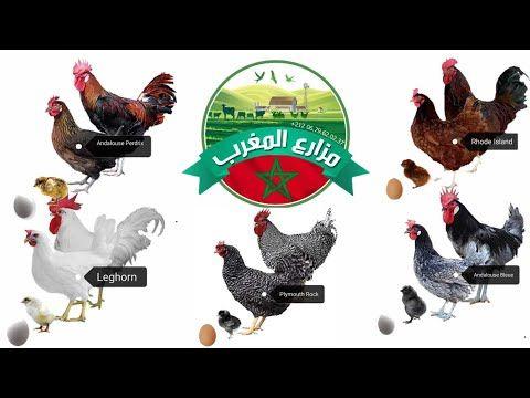 حقيقة و واقع سلالات الدجاج البياض في المغرب مزارع المغرب Youtube Rooster Animals