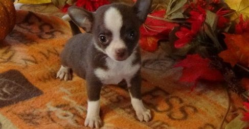 Chihuahua Long Hair Black And White Male Chihuahua Puppies Chihuahua Puppies For Sale Cute Chihuahua