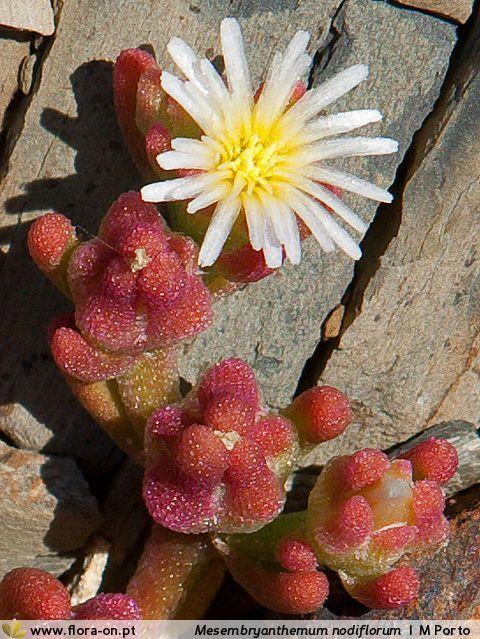 Mesembryanthemum_nodiflorum