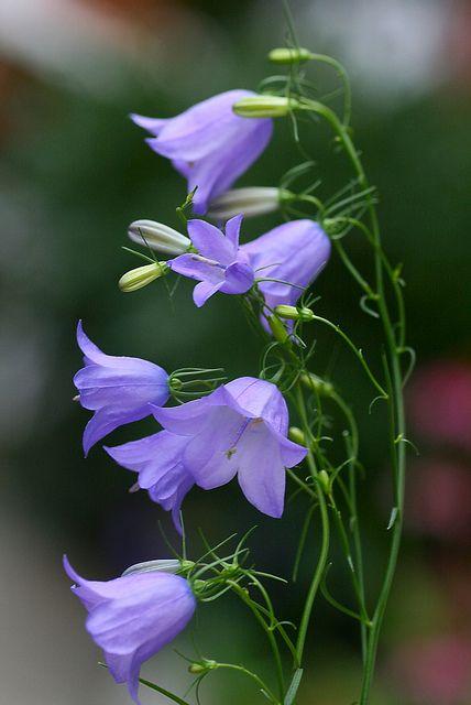 Campanula rotundifolia, perennial: