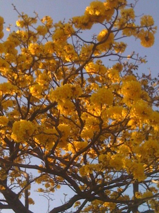 Roble sabana: Cortez Amarilla, Amarilla Tree, Flora Visterias, Flowers Plants, Plants Shrubs Trees, Late February, Tropical Permaculture Plants, Exotic Flowers