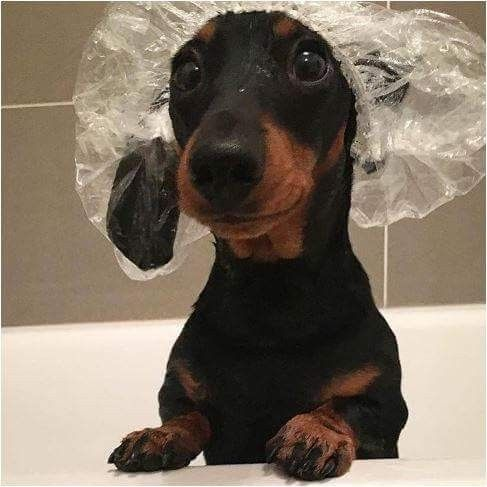 Nothing Better Than A Dachshund In A Shower Cap Weiner Dog