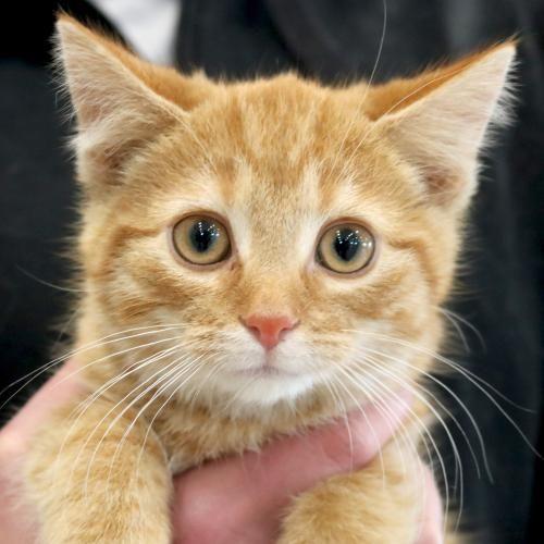 Hi I M Alfred I M A 2 Month Old Neutered Male Red Tabby Domestic Short Hair Tabby Kitten Orange Tabby Kitten Animals