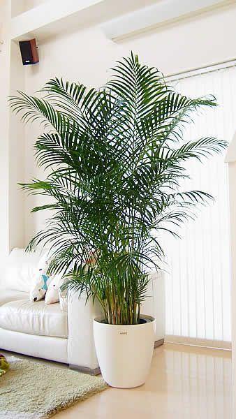 palm indoor plant for the living room #gardenIdeas #garden #gardening #plants #homeDecor #indoor
