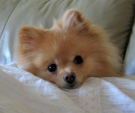 Dory the Pomeranian