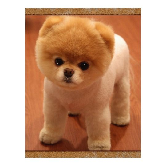 Pomeranian Dog Pet Puppy Small Adorable Baby Zazzle Com Cute