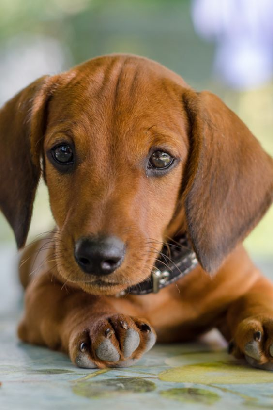 Dachshund Products Apparel And Gifts Puppies Dachshund Puppies