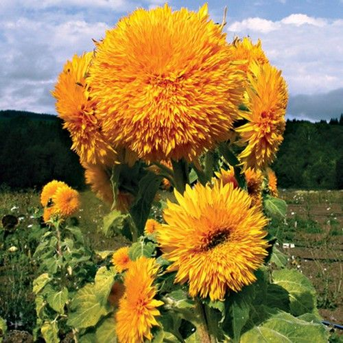 Sunflower Giant Sungold (Helianthus Annuus) - Sunflower seeds are a favorite for children to grow. They are so tall and stately that both children and adults are impressed! Giant Sunflowers have massi