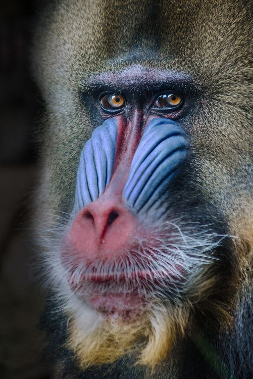 A Mandrill, Melbourne Zoo