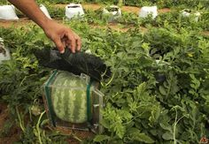 Reshape your watermelons grown at home. It is fun to change the shape of your watermelon and watch it grow into a square or some other shape of your choosing. And imagine how much more fun i...
