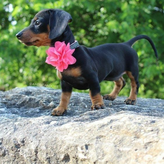 Pin By Joann Graham On Dachshunds Funny Dachshund Pictures King