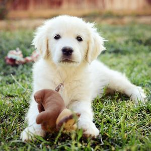 Goldador Mix Between A Labrador And Golden Retriever Precious Hunde Mischling