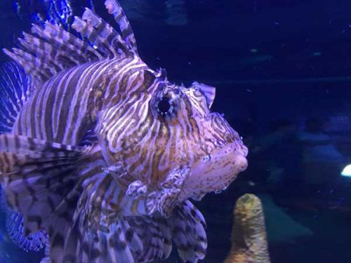 7 Aggressive Saltwater Fish Read More On Saltwater Aquarium Blog Saltwater Aquarium Saltwater Aquarium Fish Saltwater Tank