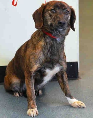SAFE - 02/10/15 --- Brooklyn Center  LILO - A1027483  FEMALE, BR BRINDLE / WHITE, AUST SHEPHERD / DACHSHUND LH, 2 yrs, 6 mos OWNER SUR - EVALUATE, HOLD FOR ID Reason PETS CONFL  Intake condition EXAM REQ Intake Date 02/08/2015 https://www.facebook.com/Urgentdeathrowdogs/photos/pb.152876678058553.-2207520000.1423521649./958932764119603/?type=3&theater