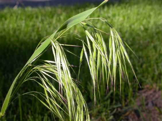 Perennial Brome Grasses : The world s catalog of ideas