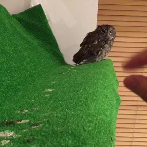 今日はこんな感じで甘え声〜♪(^^)❤️ #owl #フクロウ #ニシアメ #ニシアメリカオオコノハズク #生き物にサンキュー #kuuowl