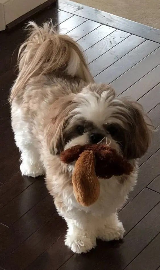 14 Reasons Shih Tzus Are Not The Friendly Dogs Everyone Says They Are In 2020 Dog Friends Shih Tzus Dogs