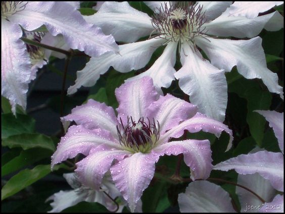 Clematis 'Blue Moon'