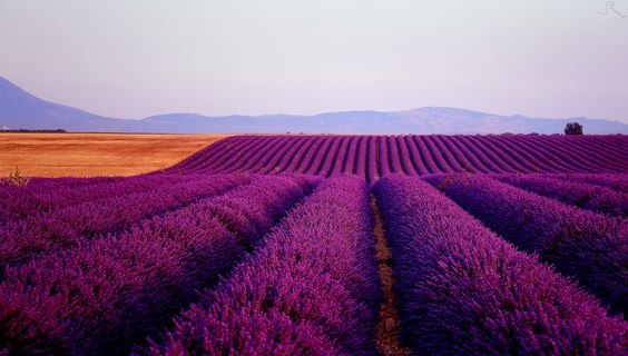 Purple lines - the lavender fields at Valensole /France).