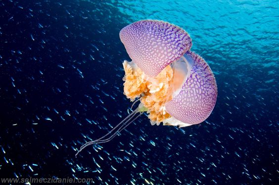 Jellyfish surrounded by schools of fish