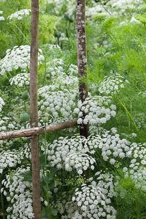 Ammi Majus (Bishop's flower) has lacy, white flowers, like a more delicate form of cow parsley.  Ammi Majus is the best white filler-foliage plant you can grow and spectacular arranged in a great cloud on its own. It forms larger, more prolific plants from an autumn sowing.