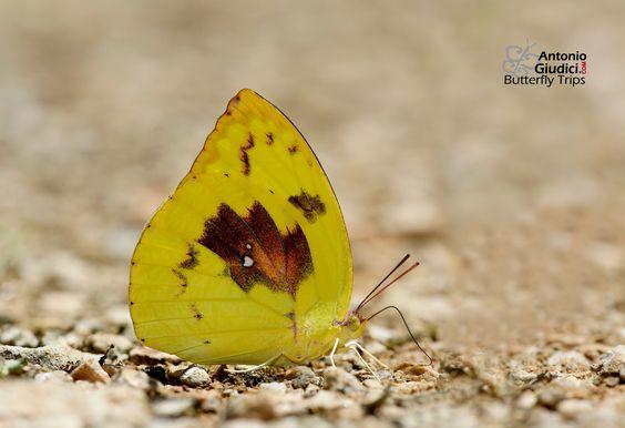 Pieridae, Coliadinae: Catopsila pomona pomona