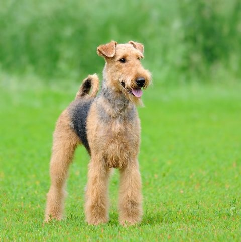 40 Best Medium Sized Dogs In 2020 Airedale Dogs Best Large Dog Breeds Medium Sized Dogs Breeds