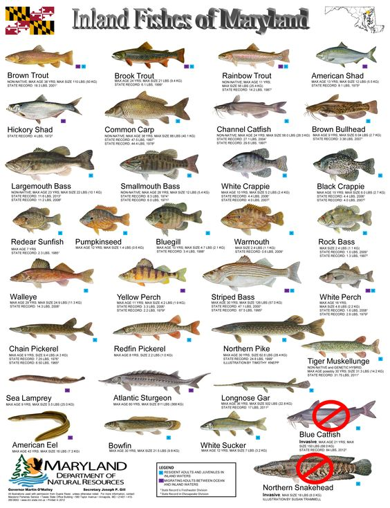 Common freshwater fish identification inland fishes of md for Bass fishing in maryland
