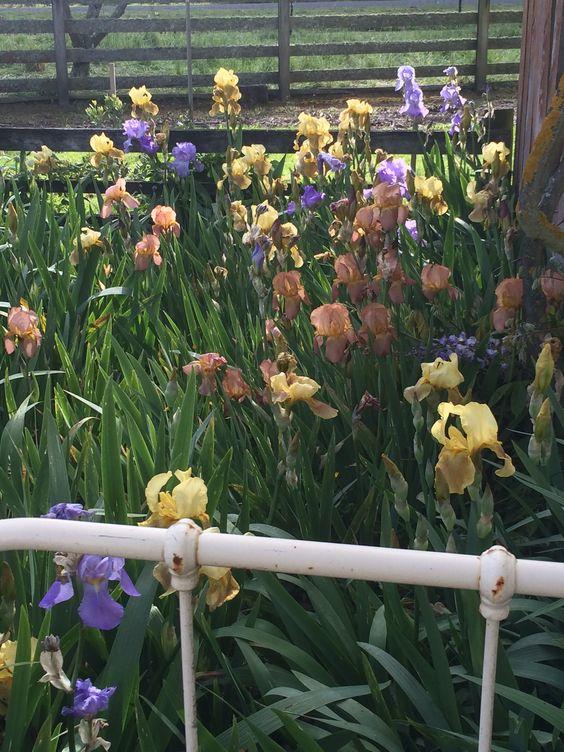 Iris bed in full bloom in Fargo's garden at Ormondville Police Station November 2014