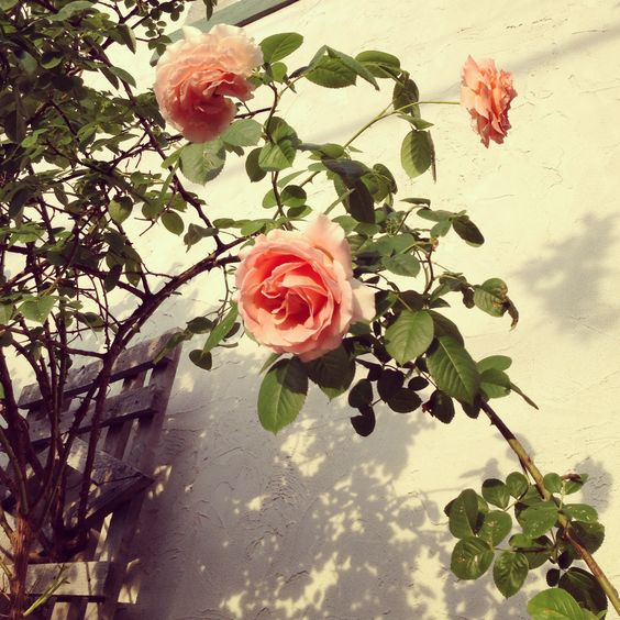 Rose vines vines and roses on pinterest