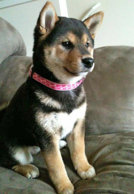 Little Shiba Inu...so very cute. :)