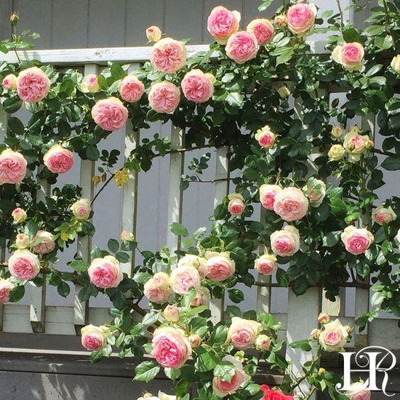 Eden Climbing Roses Trellis Rose Garden Design Climbing Roses
