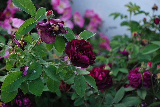un diario giardino: Portland Rose