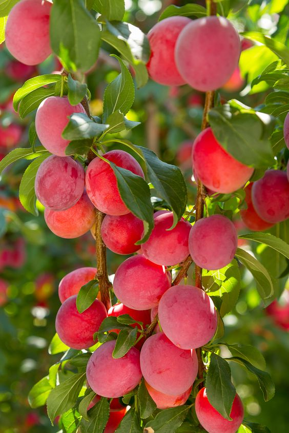 AU-Rosa Plum Trees -  FRESH SHIPMENT IN!!!  Heavy crop ripens June to July, about 2 weeks later than Methley
