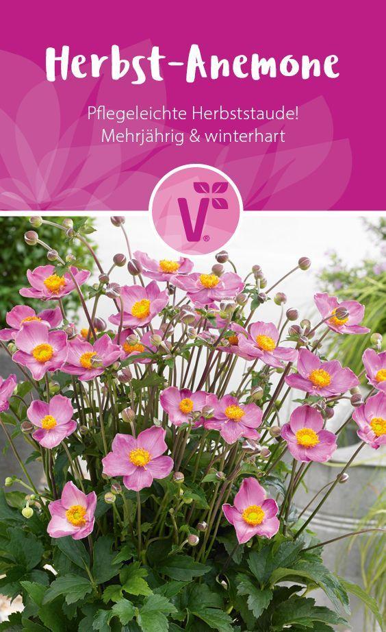 Herbst Anemone Mehrjahrige Winterharte Pflanze Pflegeleichte Herbststaude Blumen Fur Garten Blumen Fur Garten Anemone Winterhart