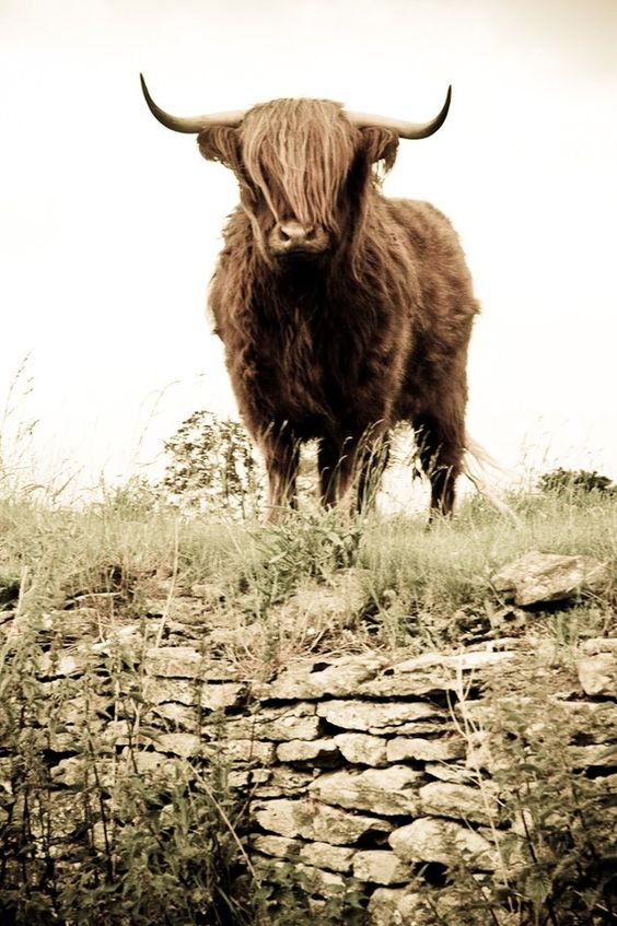 Highland Cattle 2  Fine Art Photography  Wall Décor  by shortwork, $16.00