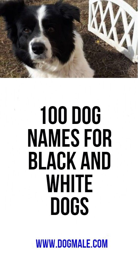 100 Dog Names For Black And White Dogs Dog Names Black And