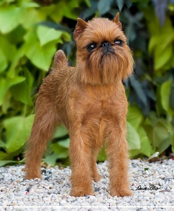 Brussels Griffon, a rarer toy breed know for their expressive faces and characteristic underbite.